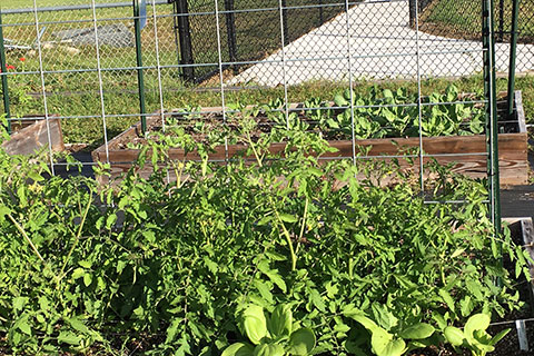 Vegetables in the garden at Sugar Mill Elementary